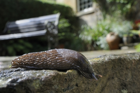 Great black slug (Arion ater) brown form, crawling over patio after rain, with house and garden bench in the backgroun