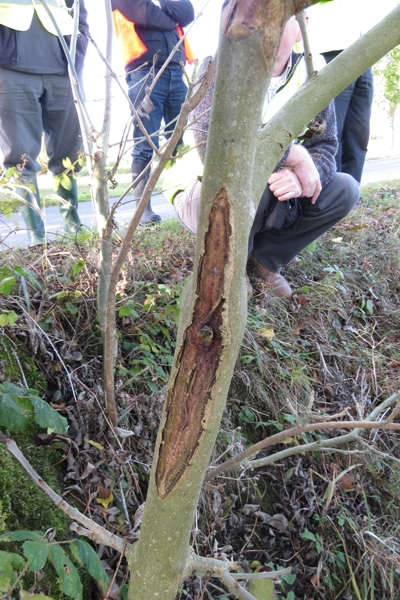 Chalara diamond stem scar on ash tree