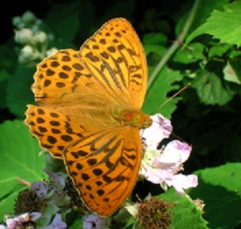 Silver-washed fritillary butterfly on bramble