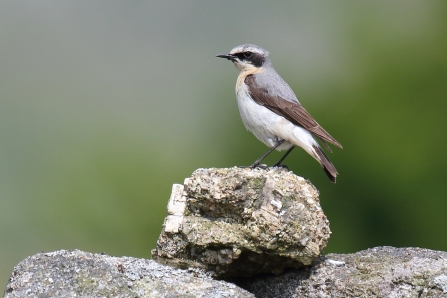 Wheatear perching on the wall at Emsworthy