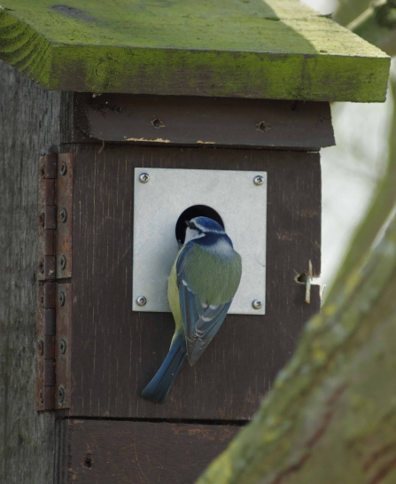 Blue tit entering nest box