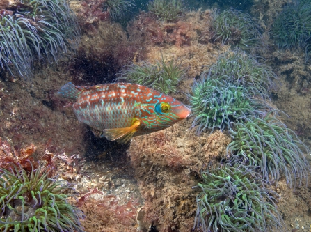 Corkwing wrasse in Torbay