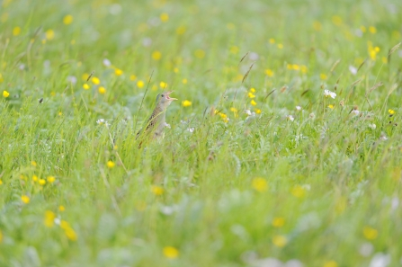 A corncrake calls from a wildflower meadow