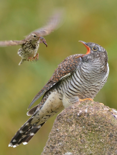 Cuckoo being fed by marsh pipit at Emsworthy Mire