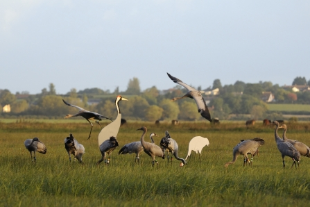 Great cranes comes into land on the Somerset Levels