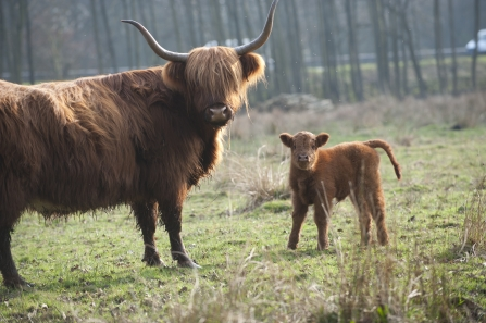 Highland cow with calf stand looking at the camera