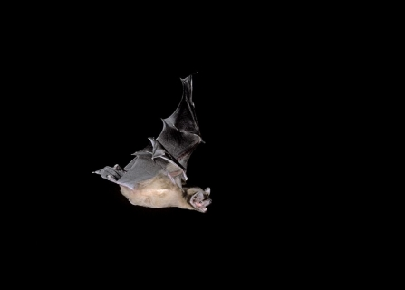 Pipistrelle bat in flight
