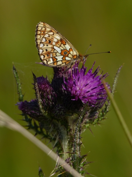 Small pearl-bordered fritillary resting on a thistle