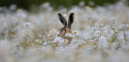 Brown hare looking through flowers