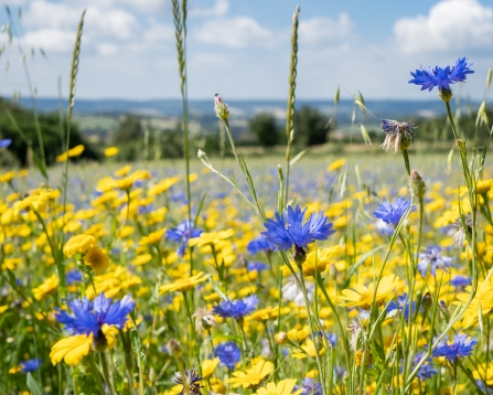 Cornflowers at a wildflower meadow at Ludwell Valley Park
