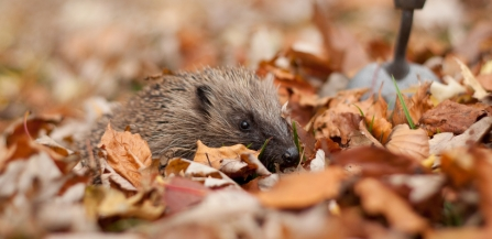 hedgehog looking bashful in leaves