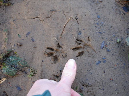 Otter foot prints in the mud