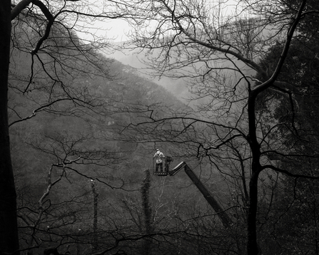 Man on crane felling tree. Black and white image.