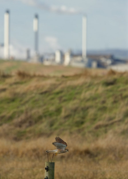 Kestrel with pollution