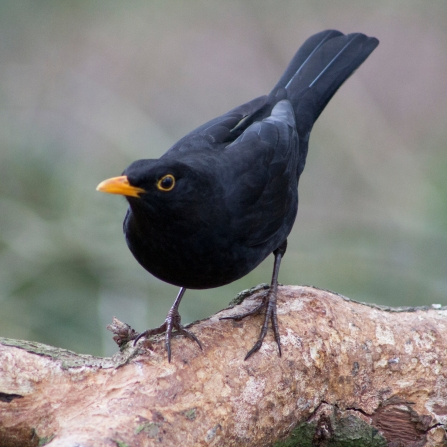 Blackbird stood on a log, looking at the camera
