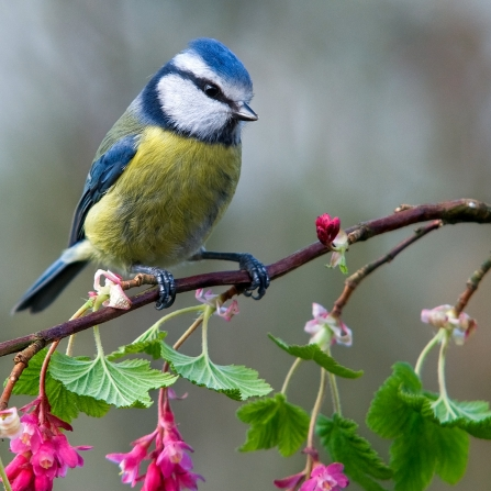 Blue tit next to pink flowers