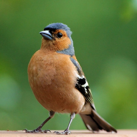 Chaffinch looking at the camera
