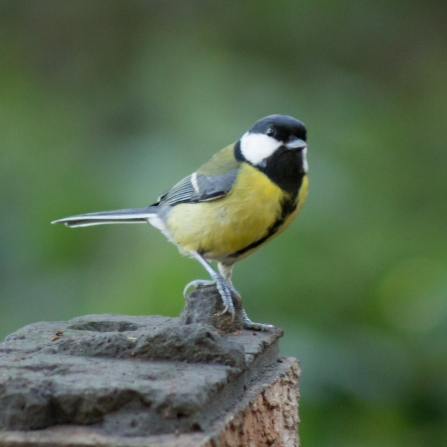 Great tit on a brick