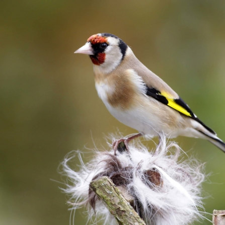Goldfinch collecting nesting material