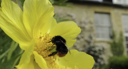 Queen Red-tailed bumblebee (Bombus lapidarius) feeding on Yellow tree peony (Paeonia ludlowii) flower in Wiltshire garden, with Clematis covered house in the background