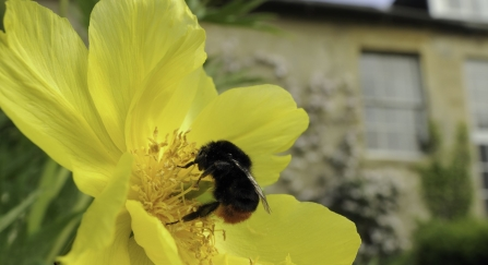 Queen Red-tailed bumblebee feeding on yellow tree peony