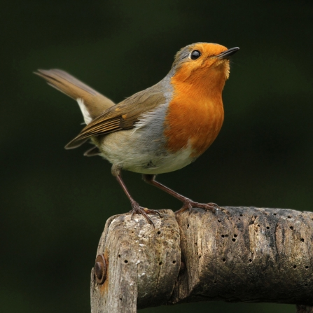 Robin perched on a wooden handle